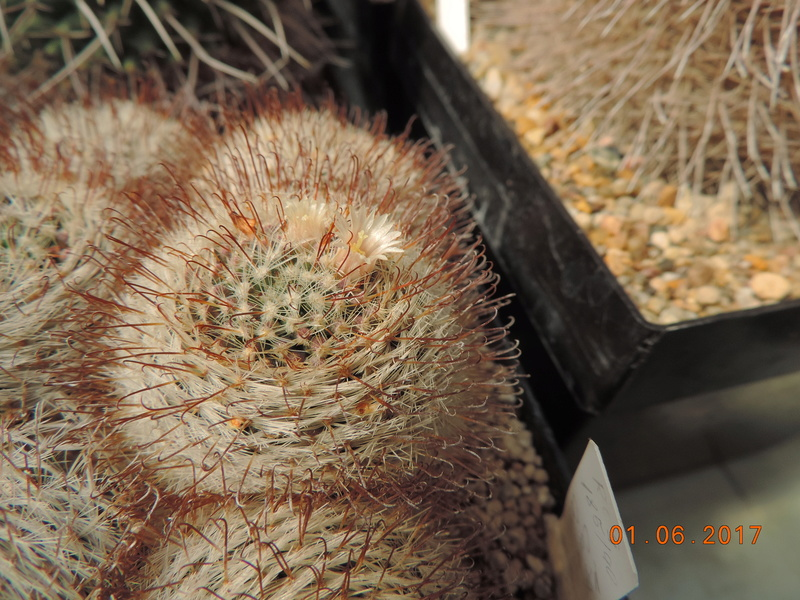 Cacti and Sukkulent in Köln, every day new flowers in the greenhouse Part 164 Bild_974