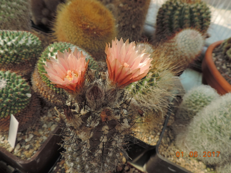 Cacti and Sukkulent in Köln, every day new flowers in the greenhouse Part 164 Bild_977