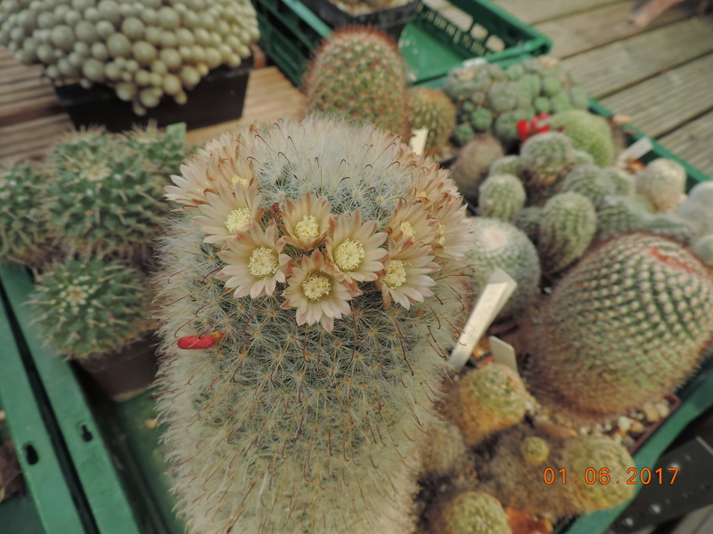 Cacti and Sukkulent in Köln, every day new flowers in the greenhouse Part 164 Bild_979