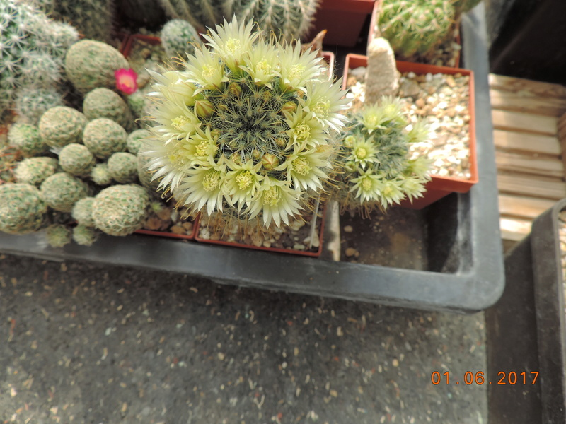 Cacti and Sukkulent in Köln, every day new flowers in the greenhouse Part 164 Bild_982