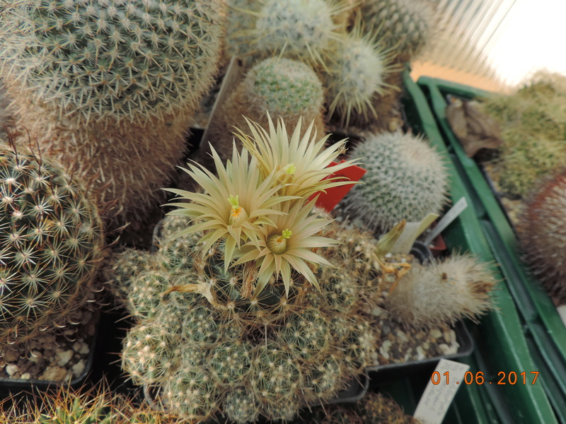 Cacti and Sukkulent in Köln, every day new flowers in the greenhouse Part 164 Bild_986