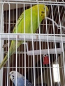 nouvelles perruches Imgp4315
