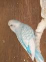 nouvelles perruches Imgp4322