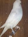 nouvelles perruches Imgp4324