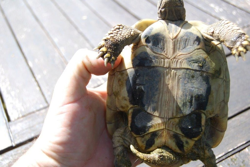 identification boetgerie femelle ou male 3-310