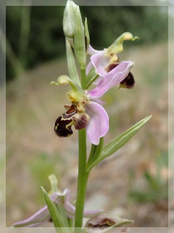 Orchidées et sangliers 2014-982