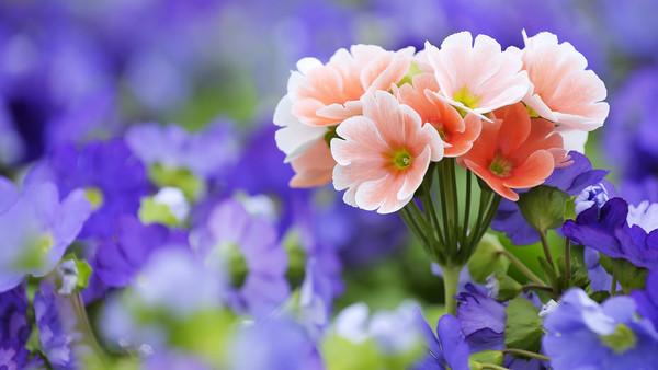 Bon Dimanche    -  Féte des Mères  Roses_10