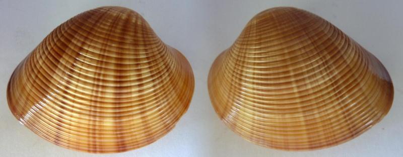 Callista erycina - (Linnaeus, 1758) Callis10