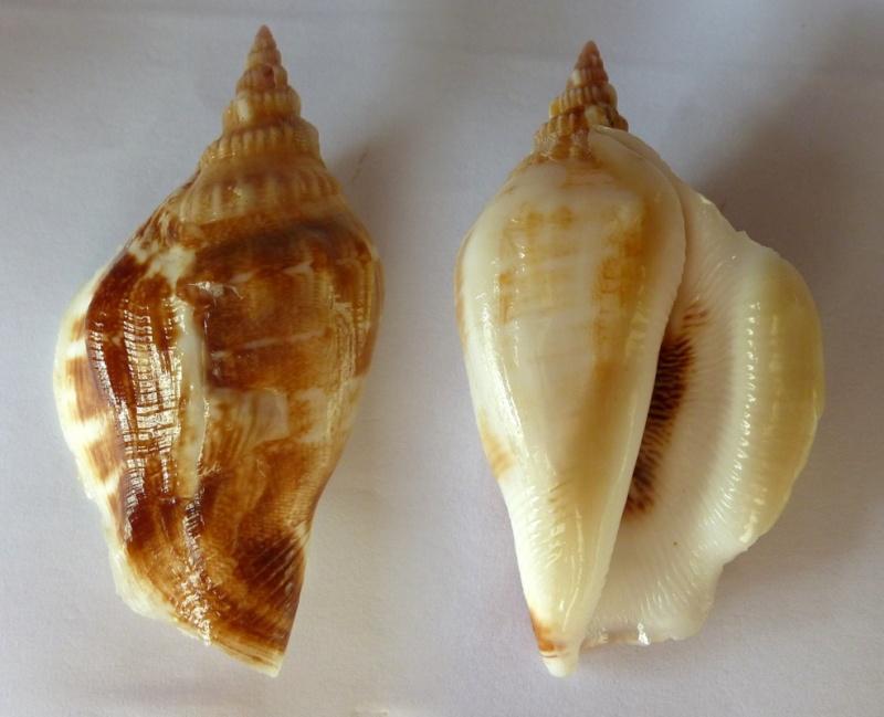 Dolomena swainsoni - (Reeve, 1850) Dolome10