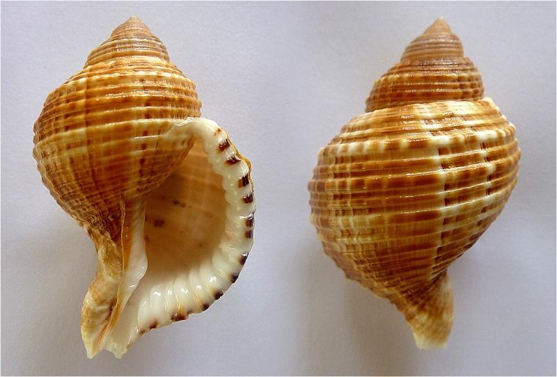 Cymatiidae Linatella caudata - (Gmelin, 1791) Linate10