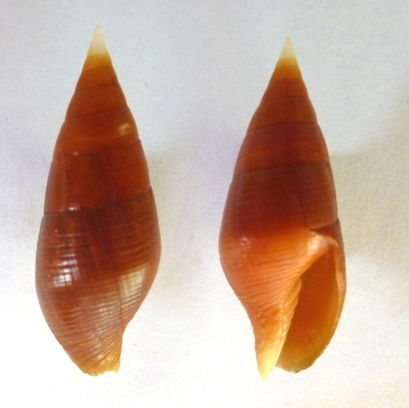 Strigatella testacea - (Broderip, 1836)  M_test10