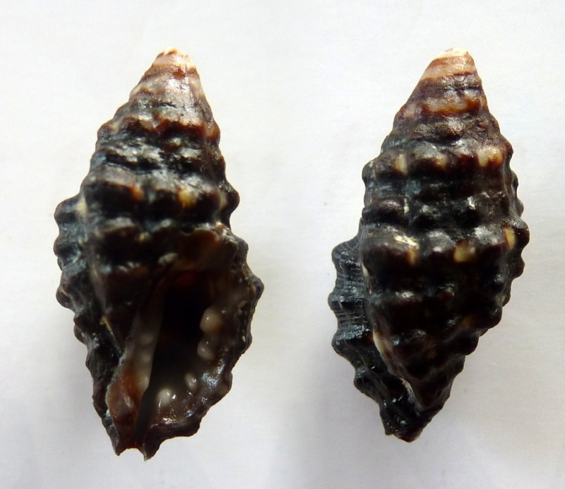 Morula nodulosa - (C. B. Adams, 1845) Morula10