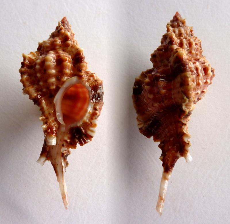 Siratus consuela - (A.H. Verrill, 1950) Motaci11