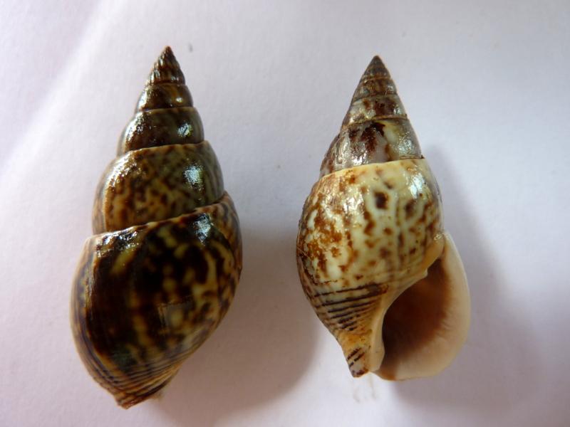 Nassarius olivaceus - (Bruguière, 1789) P1120220
