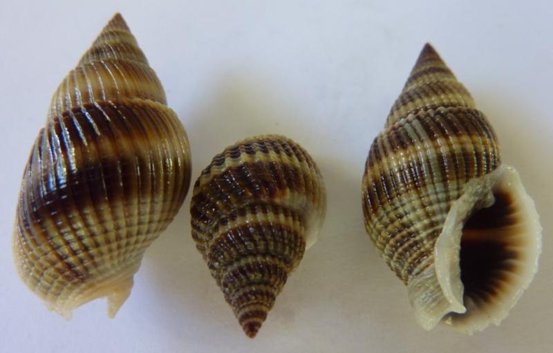 Nassarius livescens - (Philippi, 1849)  P1120226