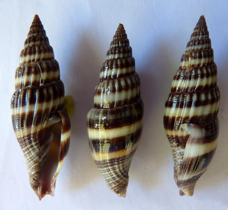 Vexillum curviliratum - (G. B. Sowerby II, 1874) P1120233