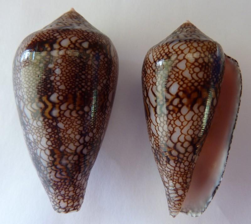 Conus (Cylinder) canonicus textilinus   Kiener, 1845  - Page 2 P1120234