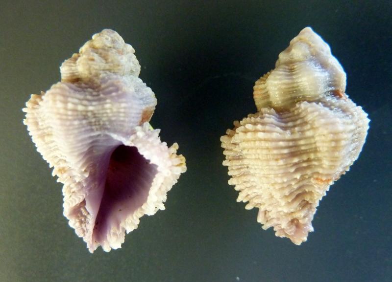 Coralliophila bulbiformis - (Conrad, 1837)  P1120246