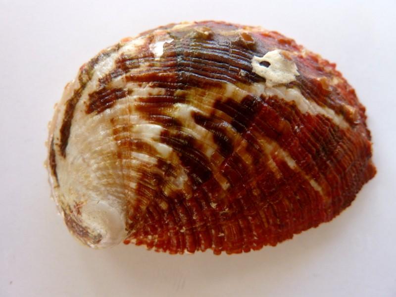 Haliotis planata - G. B. Sowerby II, 1882 P1120340