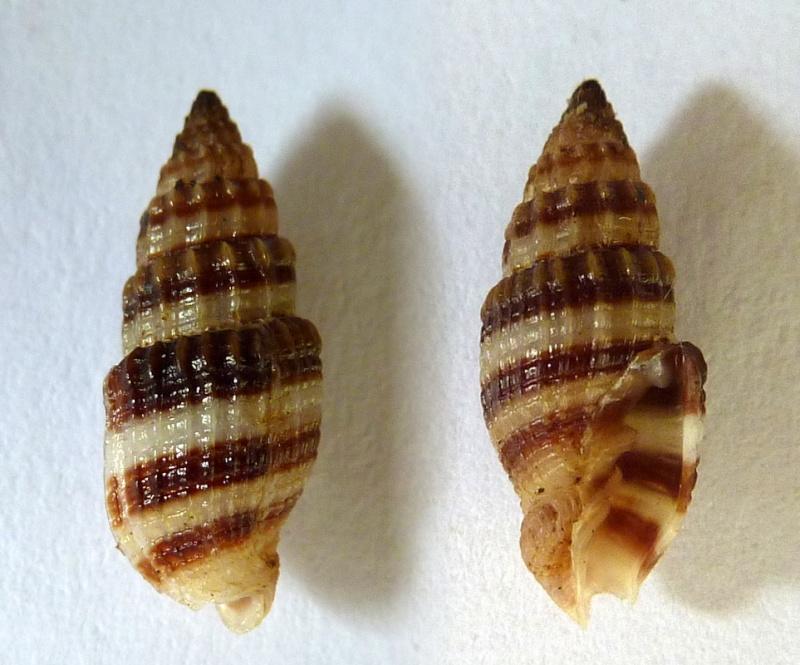 Vexillum amandum - (Reeve, 1845) Vexill10