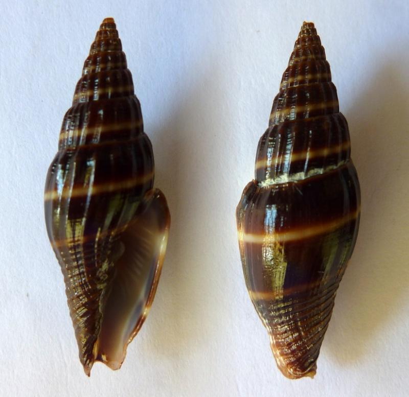 Vexillum formosense - (G. B. Sowerby III, 1889) Vexill13