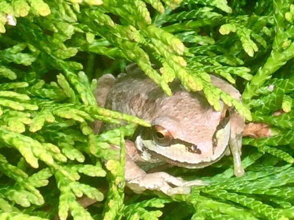 Tree Frog. Img_0314