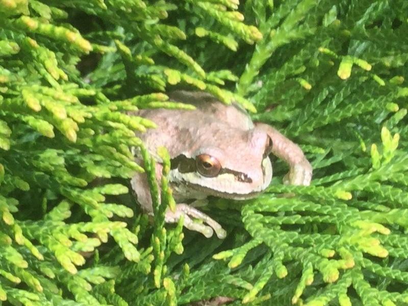 Tree Frog. Img_0316