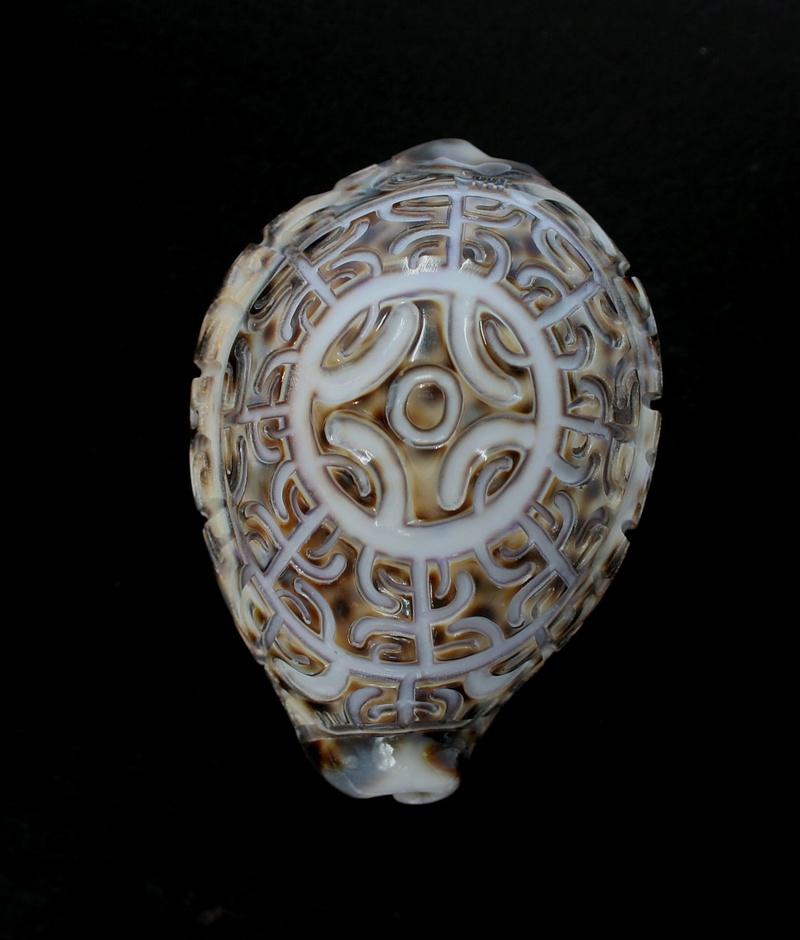 Incroyables Cypraea tigris des Marquises Cyp_ti14