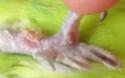 Boule sur le bas ventre de ma perruche  19142910
