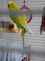 Boule sur le bas ventre de ma perruche  Imgp1510