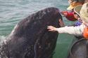 [Vidéo] Embrasser une baleine dans la nature Mex-bc10