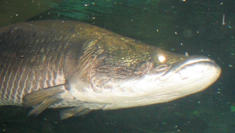 Un poisson amazonien, l'arapaima gigas, doté d'un blindage anti-piranha unique dans la nature  Arapai11