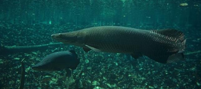 Un poisson amazonien, l'arapaima gigas, doté d'un blindage anti-piranha unique dans la nature  Captur10