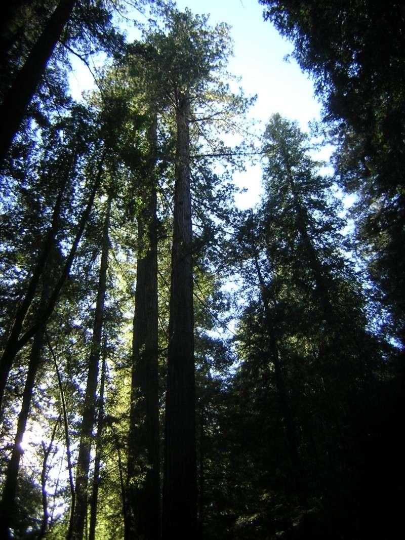 Sequoia - redwood Dscn3522