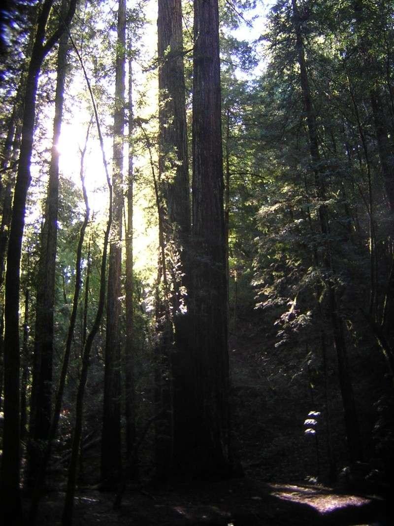 Sequoia - redwood Dscn3523