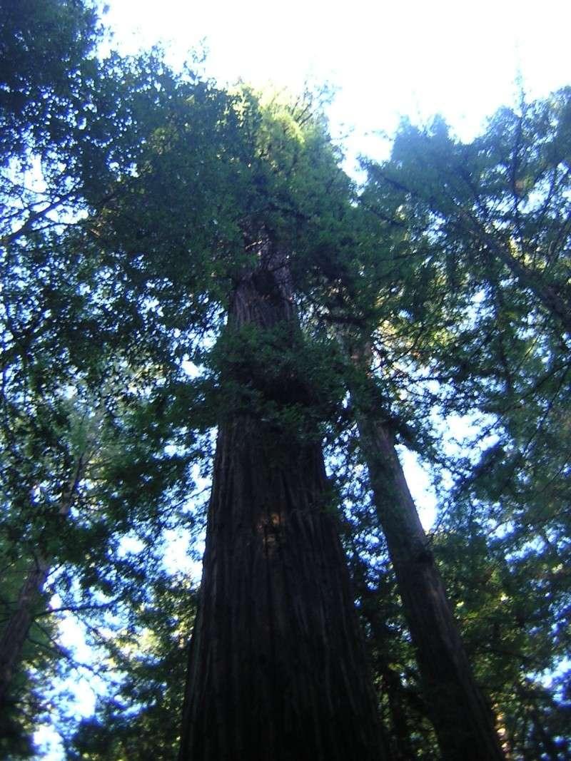 Sequoia - redwood Dscn3525