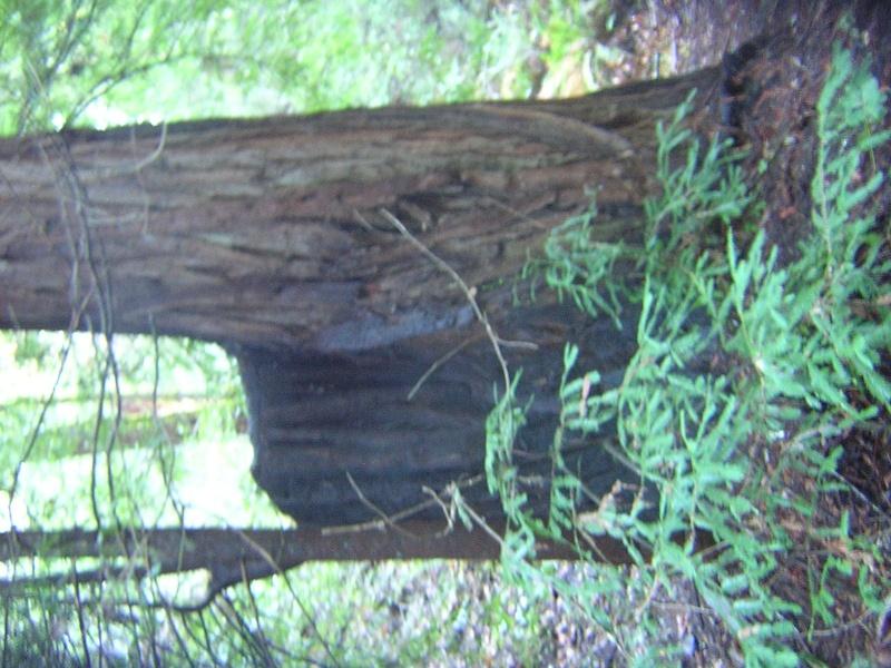 Sequoia - redwood Dscn3526