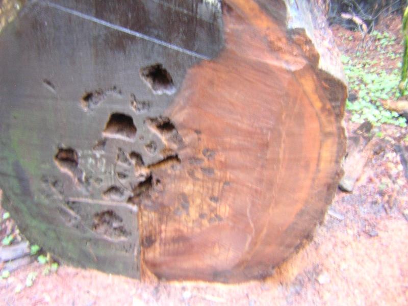 Sequoia - redwood Dscn3528