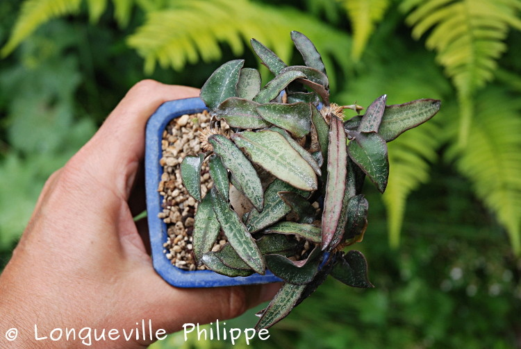 Euphorbia francoisii - Page 10 Dsc_3713