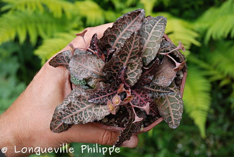 Euphorbia francoisii - Page 10 Dsc_3714