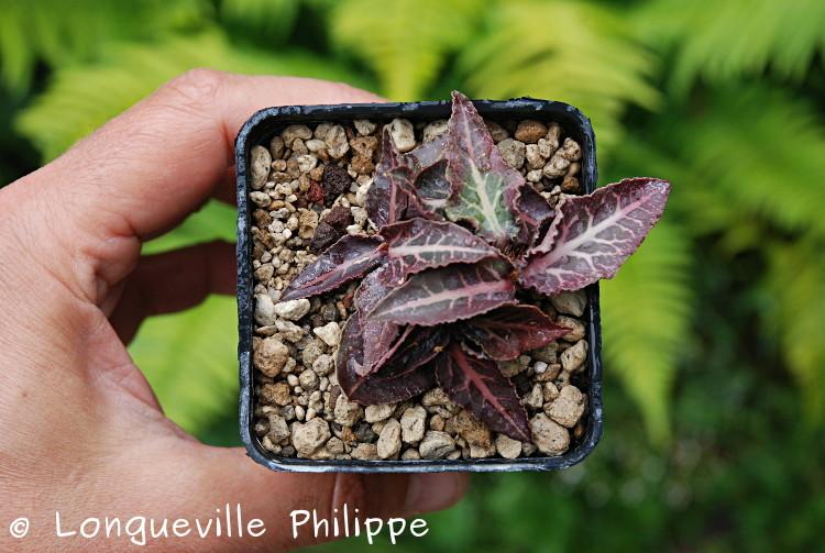 Euphorbia francoisii - Page 10 Dsc_3718