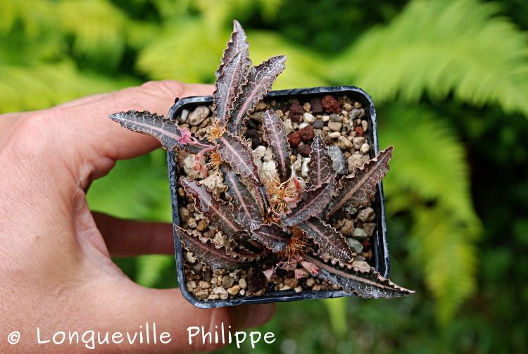 Euphorbia francoisii - Page 10 Dsc_3720