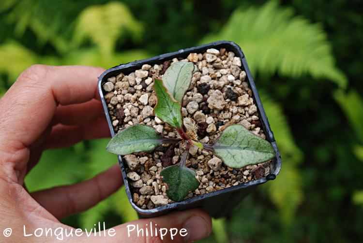 Euphorbia francoisii - Page 10 Dsc_3810