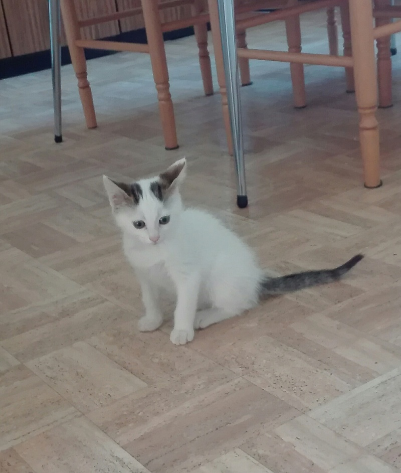 nana - NANA, chatonne, type européen,  blanche et tigrée née le 15/04/17 Img_2010