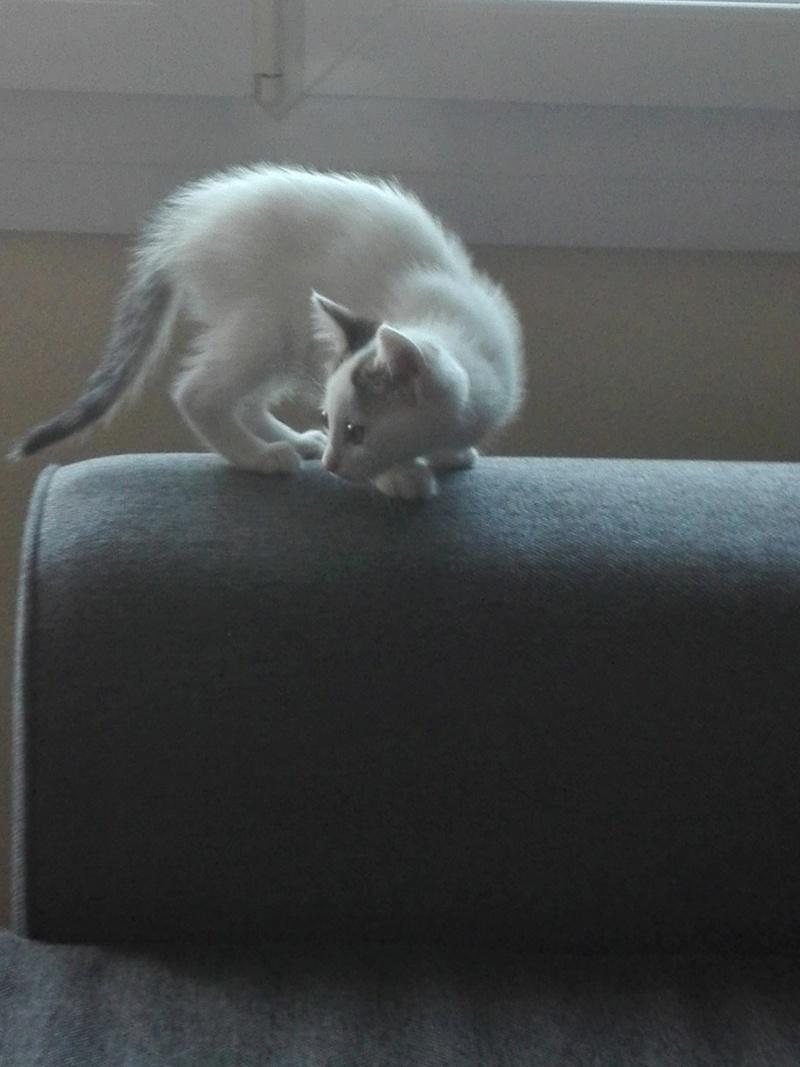 nana - NANA, chatonne, type européen,  blanche et tigrée née le 15/04/17 Img_2011