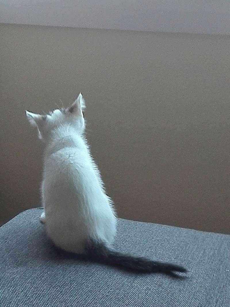 nana - NANA, chatonne, type européen,  blanche et tigrée née le 15/04/17 Img_2012