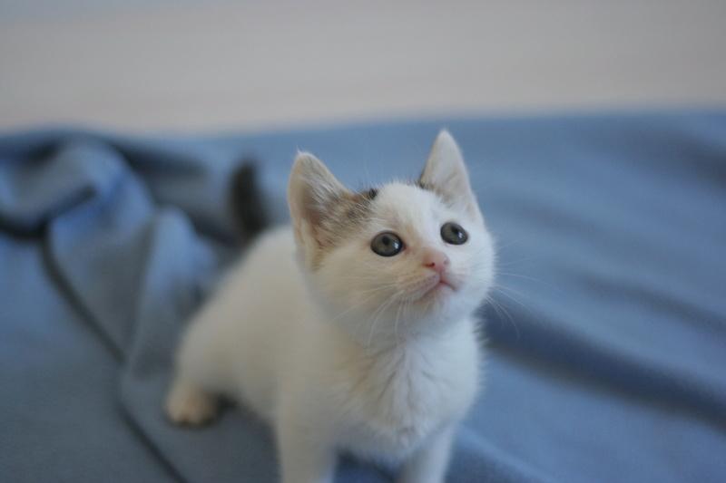 nana - NANA, chatonne, type européen,  blanche et tigrée née le 15/04/17 Img_8018