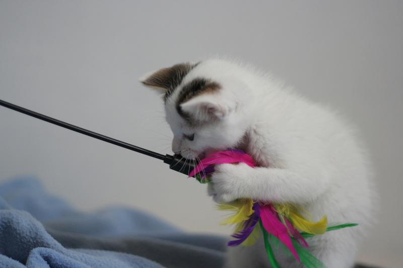 nana - NANA, chatonne, type européen,  blanche et tigrée née le 15/04/17 Img_8119