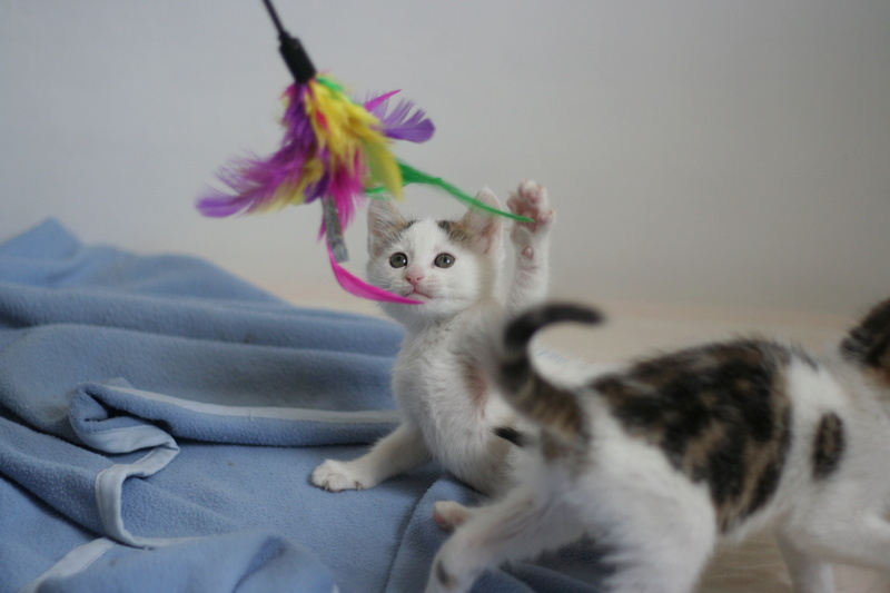 nana - NANA, chatonne, type européen,  blanche et tigrée née le 15/04/17 Img_8120