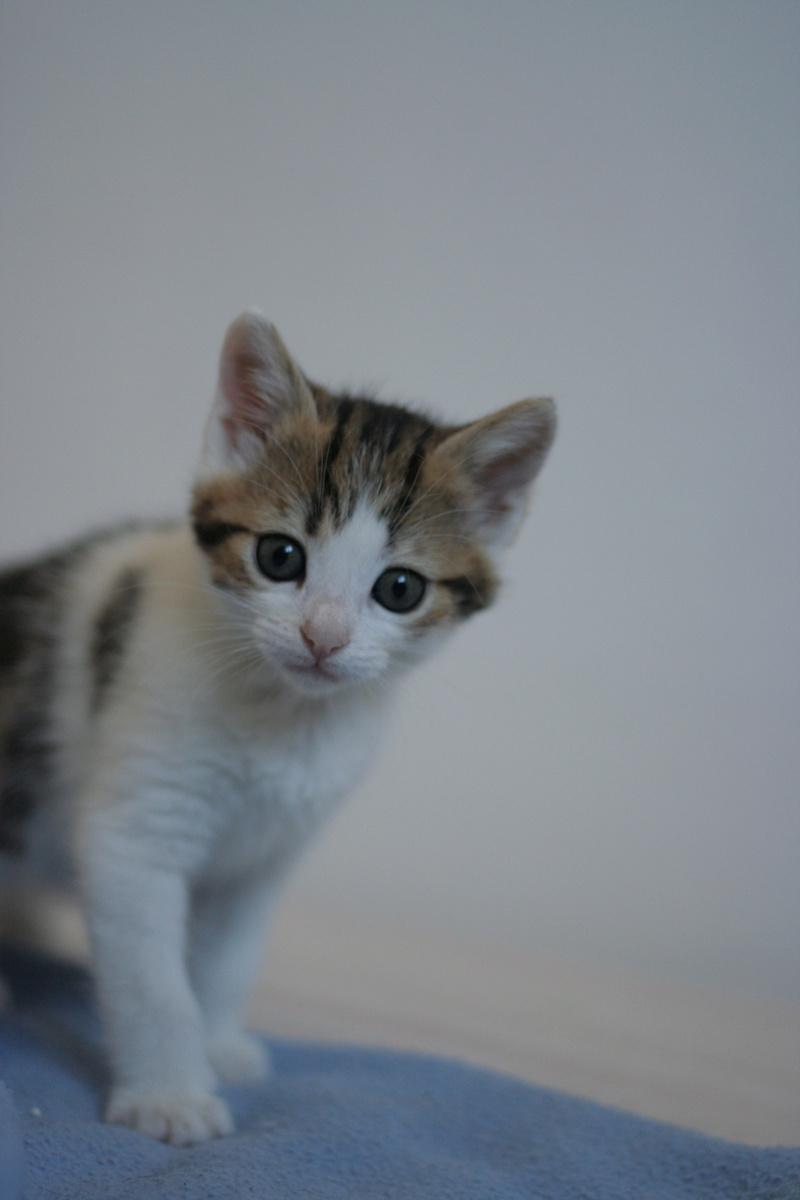 nenette - NENETTE, chatonne type européen, tigrée et blanche née le 15/04/17 Img_8122